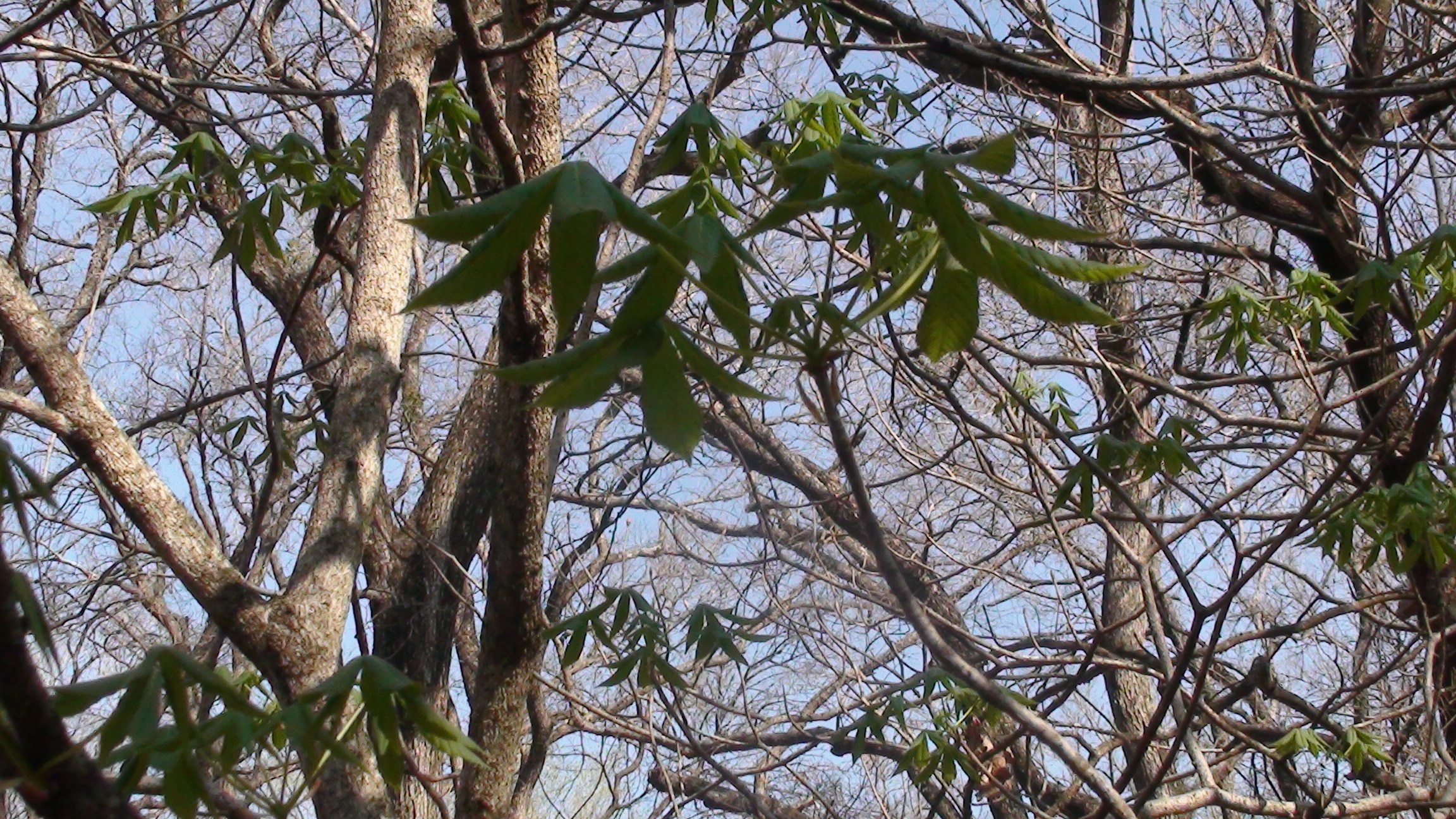 Distintive Leaves of the Buckeye Tree.JPG